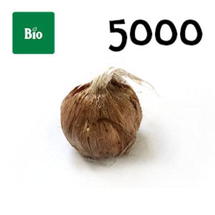5000 bulbi bio crocus sativus misura 7-8