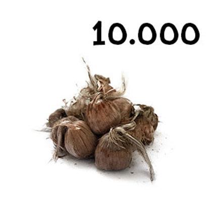 10000 bulbi crocus sativus misura 9-10