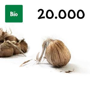 20000 bulbes biologique crocus sativus calibre 10-11