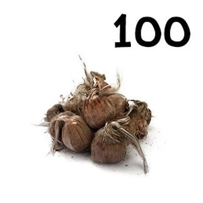 100 bulbi crocus sativus 9-10