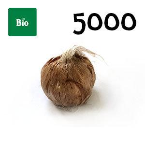 5000 bulbes biologique crocus sativus calibre 7-8