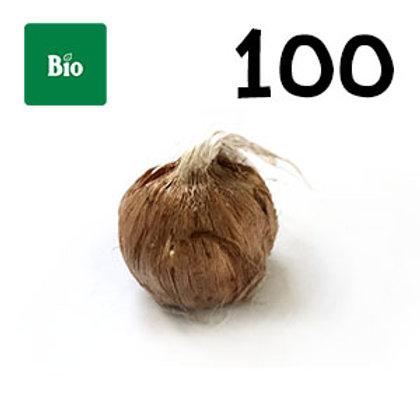 100 bulbi bio crocus sativus misura 7-8
