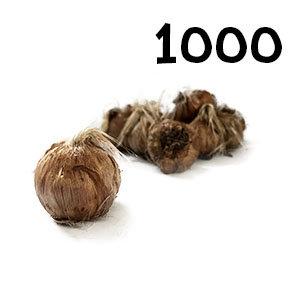 1000 bulbes crocus sativus calibre 11+