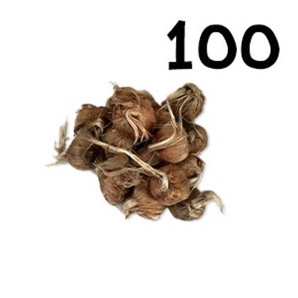 100 bulbi crocus sativus misura 8-9