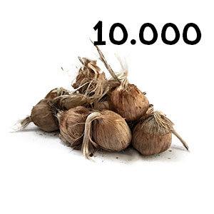 10000 bulbes crocus sativus calibre 10-11