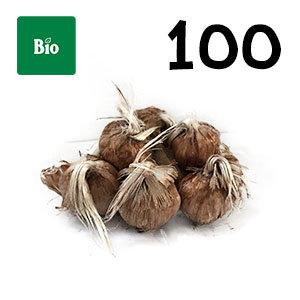 100 bulbes biologique crocus sativus calibre 9-10