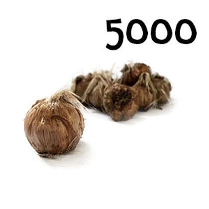 5000 bulbi crocus sativus misura 11+