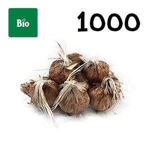 1000 bulbes biologique crocus sativus calibre 9-10
