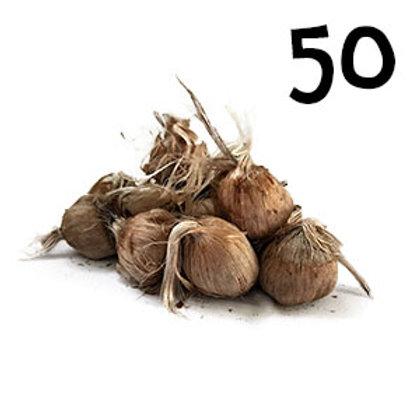 50 bulbi crocus sativus misura 10-11
