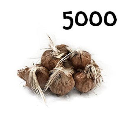 5000 bulbi crocus sativus 7-8