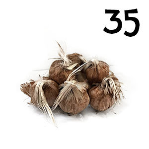 35 bulbes crocus sativus calibre 7-8