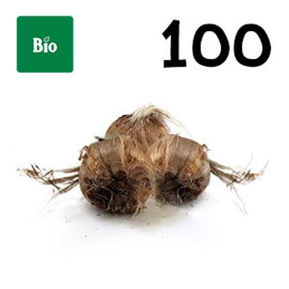 100 bulbi bio crocus sativus misura 8-9