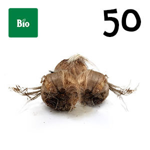 50 bulbes biologique crocus sativus calibre 8-9