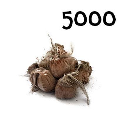 5000 bulbi crocus sativus misura 9-10
