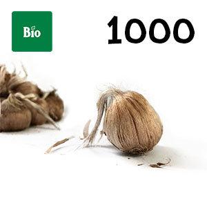 1000 bulbes biologique crocus sativus calibre 10-11