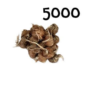 5 000 bulbes crocus sativus calibre 9-10