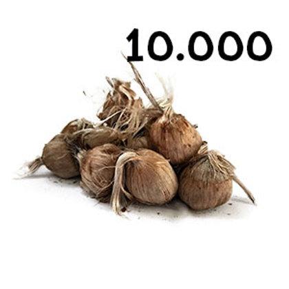 10000 bulbi crocus sativus misura 10-11