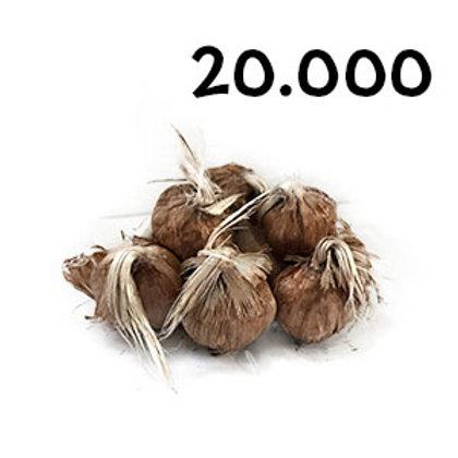 20000 bulbi crocus sativus 7-8