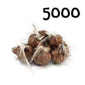5000 bulbes crocus sativus calibre 7-8
