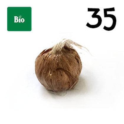 35 bulbi bio crocus sativus misura 7-8