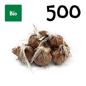 500 bulbes biologique crocus sativus calibre 9-10