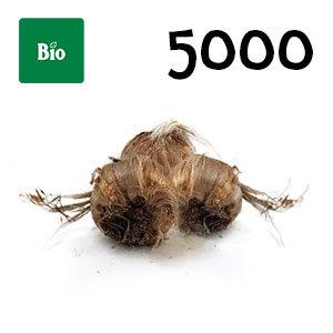 5000 bulbes biologique crocus sativus calibre 8-9
