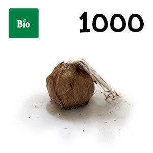 1000 bulbes bio crocus sativus calibre 11+