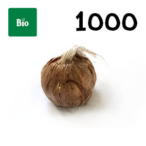 1000 bulbes biologique crocus sativus calibre 7-8