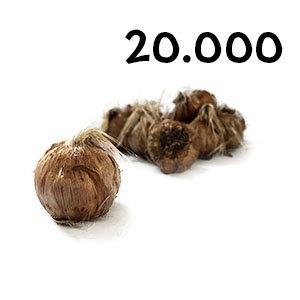 20000 bulbes crocus sativus calibre 11+