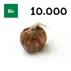 10000 bulbes biologique crocus sativus calibre 7-8