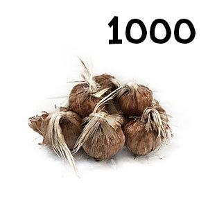 1000 bulbes crocus sativus calibre 7-8