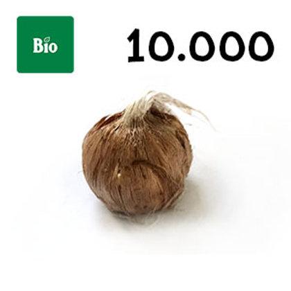 10000 bulbi bio crocus sativus misura 7-8