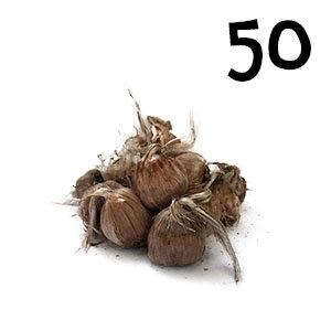 50 bulbes crocus sativus calibre