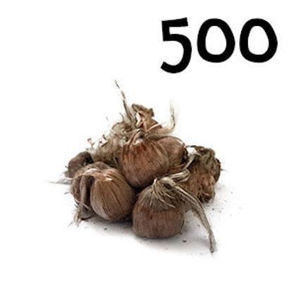500 bulbi crocus sativus misura 9-10