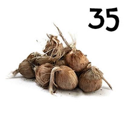 35 bulbi crocus sativus misura 10-11