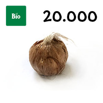 20000 bulbi bio crocus sativus misura 7-8