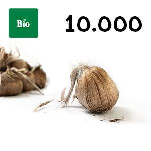 10000 bulbes biologique crocus sativus calibre 10-11