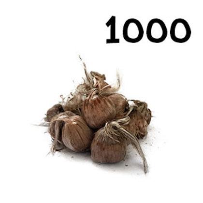 1 000 bulbi crocus sativus 9-10