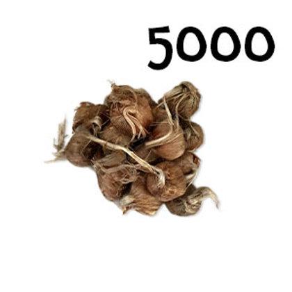 5000 bulbi crocus sativus misura 8-9