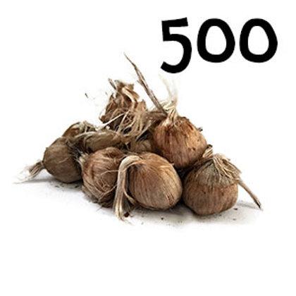 500 bulbi crocus sativus misura 10-11
