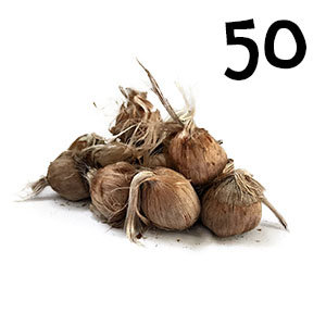 50 bulbes crocus sativus calibre 10-11