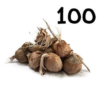 100 bulbi crocus sativus misura 10-11
