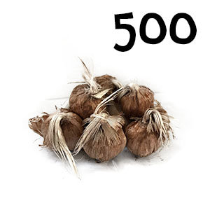 500 bulbes crocus sativus calibre 7-8