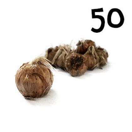 50 bulbi crocus sativus misura 11+