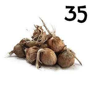 35 bulbes crocus sativus calibre 10-11