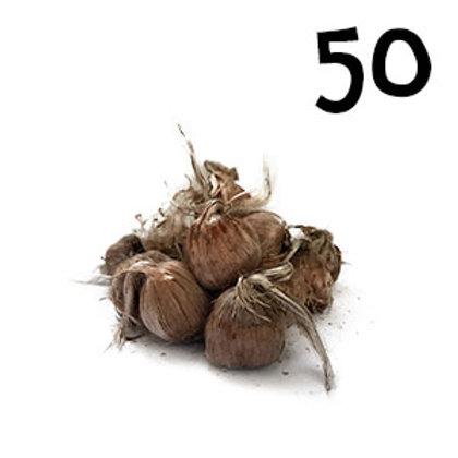 50 bulbi crocus sativus misura 9-10