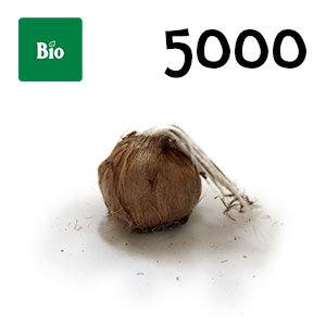 5000 bulbes biologique crocus sativus calibre 11+
