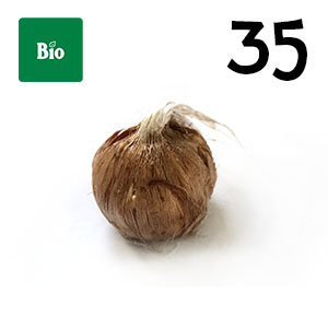 35 bulbes de safran biologique crocus sativus calibre 7-8