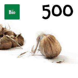 500 bulbes biologique crocus sativus calibre 10-11