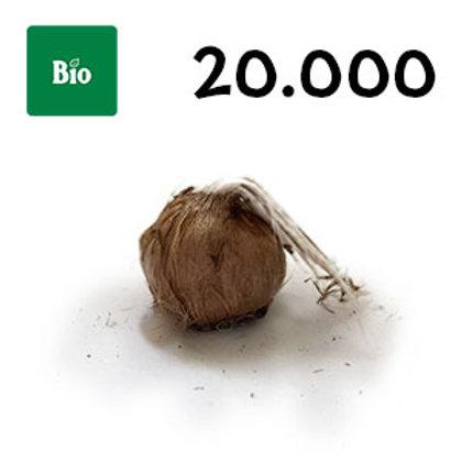 20000 bulbi bio crocus sativus misura 11+